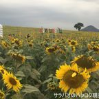 ライ・マニーソーンはカオヤイにある広大なひまわり畑