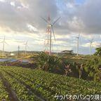 自然の中にある風力発電所と一面のイチゴ畑 in カオコー