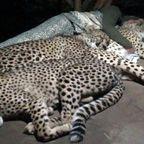 チーターに!猫の様に囲まれて寝る人!!