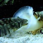 イモ貝が魚を丸呑みする姿が怖い!!