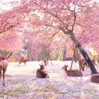 まるで楽園のような桜満開の奈良公園が美し過ぎる!!