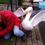 白鳥の親にドツかれながら、白鳥の子供を助ける。。