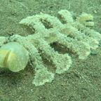 海底をすくいながら進む、不気味な謎の生物!!