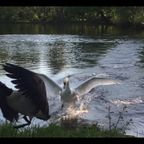 湖の主となった白鳥のプレッシャーが凄い!!
