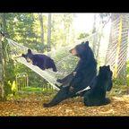 ハンモックでくつろぐクマが癒されるけど恐ろしい!!