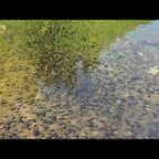 【閲覧注意】水中をうごめくおたまじゃくしの量が凄まじい!!