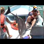 ハッスルし過ぎたイルカがボートに飛び込んでしまう。。