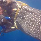 巨大なジンベイザメに巻きついた極太ロープを切って助ける!!