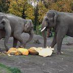 ゾウがの超巨大な360kgのカボチャを美味しそうに食べる!!