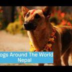 ネパールの犬への感謝のお祭りが癒される!!