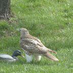 獲物のアヒルが持ち運べず困惑する鷹がかわいい!!