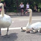 超危険な道路の真ん中を子供連れの白鳥が独占してしまう!!