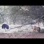 クマにイタズラを仕掛けるトラが恐ろしい!!