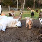 ヤギ牧場の番犬がやる気が無さ過ぎる・・・