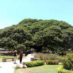 ジャイアント・モンキー・ポッド・ツリーはカンチャナブリにある巨大樹