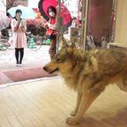 本物のオオカミにしか見えない着ぐるみが凄い!!