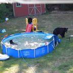 お庭のプールがクマの家族に占拠されてしまう。。