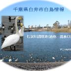 2014--千葉県白井市七次川調整池(通称 清水口調整池)白鳥、野鳥