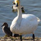 2013-2014千葉県白井市七次川調整池(通称 清水口調整池)白鳥、野鳥