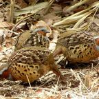 仙元山の野鳥