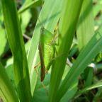 昆虫:バッタ目
