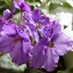セントポーリア african violet