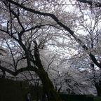 桜 ・まつり・イベント・風景