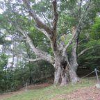 陣馬形山のブナの木