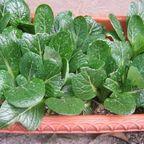 小松菜が育ってます