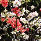 武蔵野花(春3/4/5)