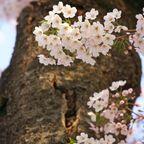 桜写真2014