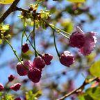 サクラ・木の花