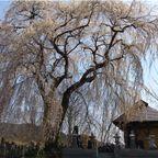 秋塚町十王堂のしだれ桜 (20130414)