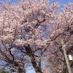 あっと言う間に桜の季節|/blog-entry-885.html