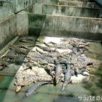 クロコダイルファームはワニがうじゃうじゃいるワニ施設 in サムットプラカーン県