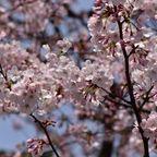 2016桜祭り・梅・その他花