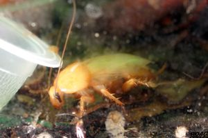 Yellow Cockroach