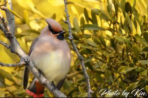 Japanese Waxwing ♪ ~can't wait~
