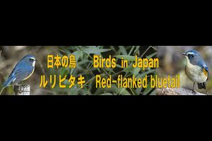 ルリビタキ Red-flanked bluetail